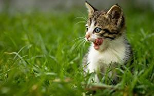 Fotos Hauskatze Katzenjunges Zunge Gras ein Tier