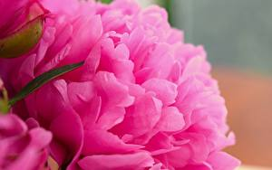 Bilder Großansicht Makro Pfingstrosen Rosa Farbe Blumen