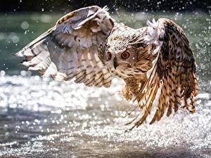 Hintergrundbilder Vögel Eule Wasser Flügel Flug ein Tier