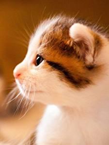 Hintergrundbilder Hauskatze Nahaufnahme Kätzchen Schnauze Seitlich