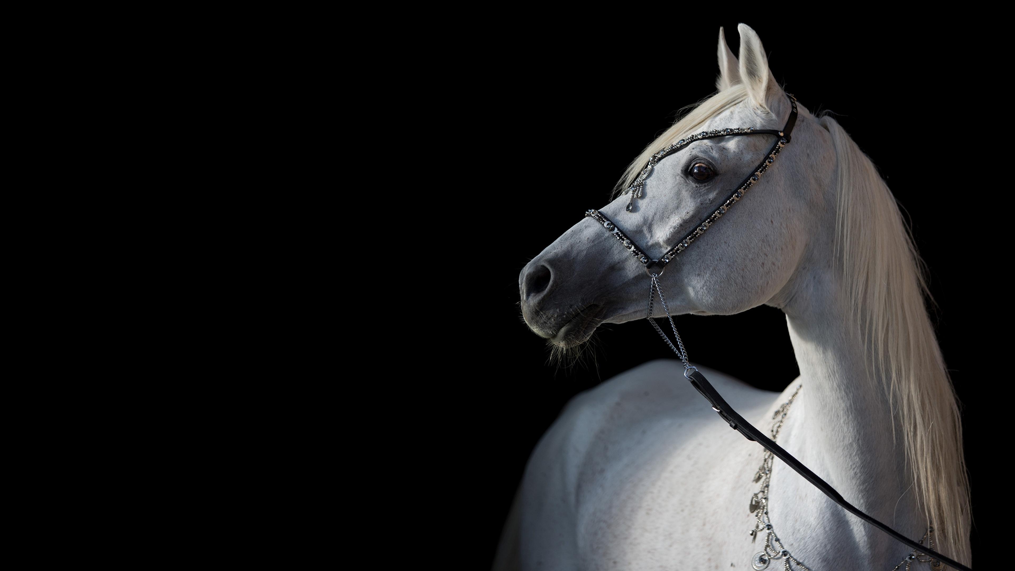 Photos Horses Arabian White Animal Black Background 3840x2160