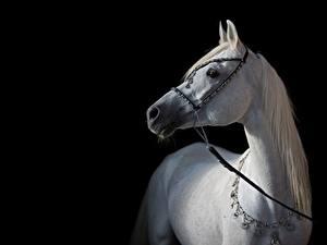 Fotos Pferde Weiß Schwarzer Hintergrund Arabian Tiere