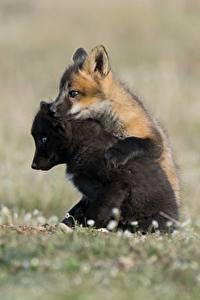Hintergrundbilder Füchse Jungtiere Zwei Schwarz Tiere