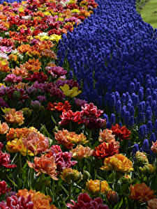 Hintergrundbilder Niederlande Park Tulpen Hyazinthen Keukenhof Blumen