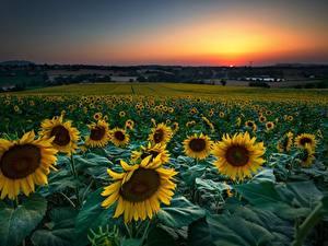 Hintergrundbilder Sonnenblumen Felder Morgendämmerung und Sonnenuntergang Blumen
