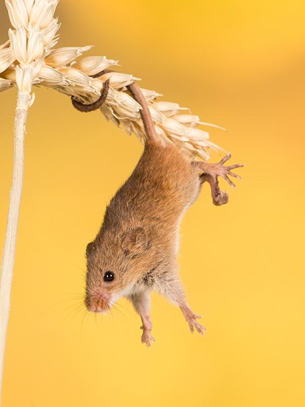 Foto Mäuse spitzen hautnah ein Tier 600x800 für Handy Ähre spitze Ähren Tiere Nahaufnahme Großansicht