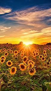 Bilder Sonnenblumen Sonnenaufgänge und Sonnenuntergänge Himmel Felder Sonne Blüte Natur