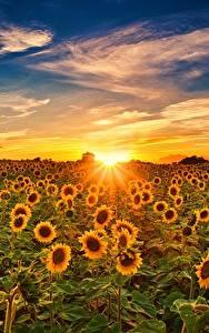 Desktop hintergrundbilder Sonnenblumen Sonnenaufgänge und Sonnenuntergänge Himmel Felder Sonne Blüte Natur