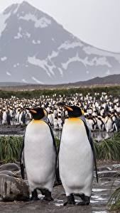 Papéis de parede Pinguim Muitas Antarctica King penguin Animalia