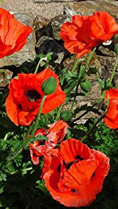 Fotos Mohn Großansicht Knospe Blüte