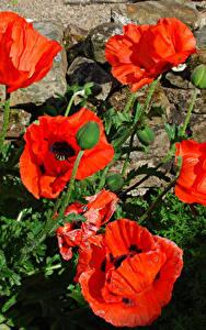 Fotos Mohn Großansicht Blütenknospe Blumen