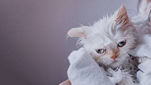 Pictures Cats Wet Frowning Gloomy Himalayan cat Animals