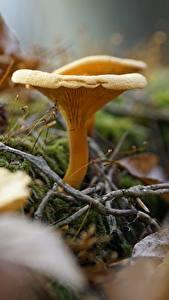 Desktop hintergrundbilder Pilze Natur Bokeh Blattwerk Ast Chanterelles Natur
