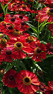 Hintergrundbilder Viel Hautnah Rot Helenium Blumen