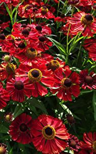 Hintergrundbilder Viel Großansicht Rot Helenium Blumen
