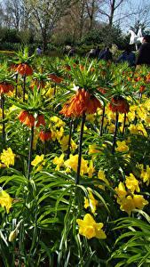 Hintergrundbilder Niederlande Park Schachblume Narzissen Viel Keukenhof Blumen
