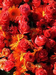 Bilder Rose Gerbera Viel Nahaufnahme Rot Blumen