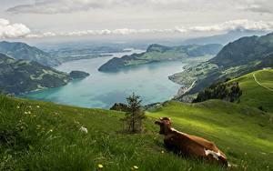 Hintergrundbilder Gebirge Grünland Kuh Landschaftsfotografie Schweiz Gras Alpen
