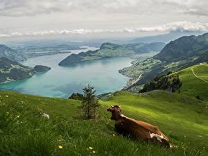 Hintergrundbilder Gebirge Grünland Kuh Landschaftsfotografie Schweiz Gras Alpen Natur