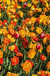 Fotos Tulpen Viel Nahaufnahme Blumen