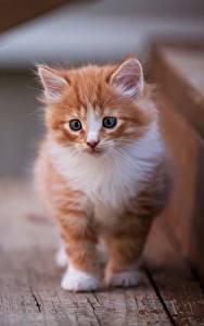 Fotos Katzen Katzenjunges Fuchsrot ein Tier