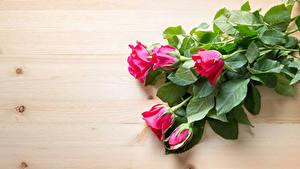 Fotos Rosen Bretter Rosa Farbe Blumen