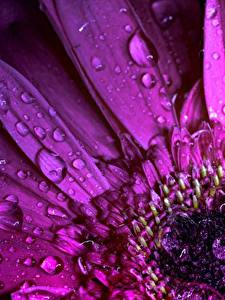 Fotos Gerbera Makro Hautnah Violett Tropfen Blumen