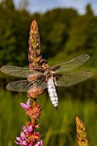 Tapety na pulpit Zbliżenie Ważki Insekty Bokeh zwierzę