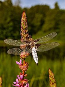 Fotos Hautnah Libellen Insekten Bokeh ein Tier