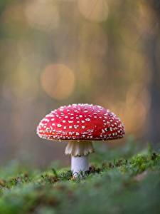 Bilder Wulstlinge Pilze Natur Bokeh