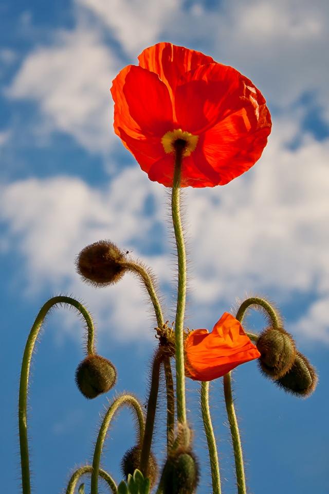 Fotos Rot Blüte Mohnblumen Knospe Nahaufnahme 640x960 für Handy Mohn Blumen hautnah Großansicht Blütenknospe