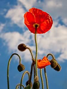 Fonds d'écran Pavots En gros plan Bourgeon Rouge fleur