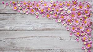 Fotos Gänseblümchen Bretter Petalen Blumen