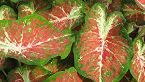 Fotos Kaladien Großansicht Blattwerk Blumen