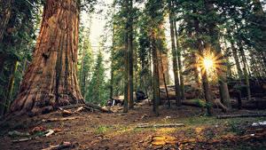 Hintergrundbilder Vereinigte Staaten Park Wälder Kalifornien Bäume Lichtstrahl Sequoia National Park Natur
