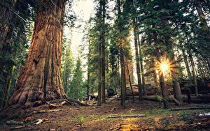 Hintergrundbilder Vereinigte Staaten Park Wälder Kalifornien Bäume Lichtstrahl Sequoia National Park
