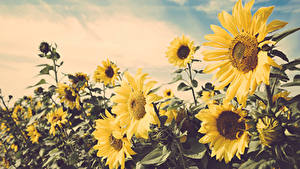 Hintergrundbilder Felder Sonnenblumen Nahaufnahme