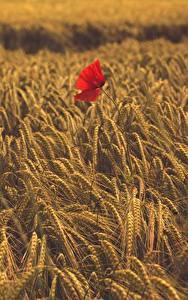 Bilder Acker Weizen Mohn Ähre Natur