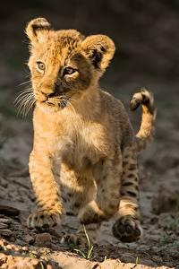 Bilder Löwe Jungtiere Lauf