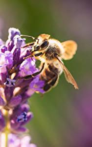 Hintergrundbilder Hautnah Bienen Insekten Unscharfer Hintergrund ein Tier