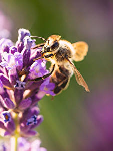 Fonds d'écran En gros plan Abeilles Insectes Arrière-plan flou un animal