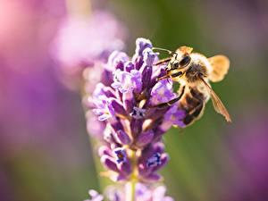 Desktop hintergrundbilder Hautnah Bienen Insekten Unscharfer Hintergrund ein Tier