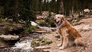 Bilder Hund Wälder Golden Retriever Retriever Bach