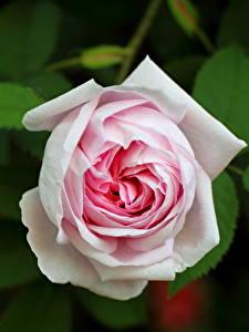 Bilder Großansicht Rose Weiß Blumen