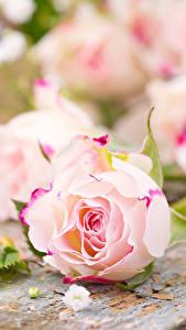 Fotos Rose Großansicht Bretter Rosa Farbe Blüte