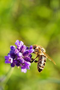 Bilder Nahaufnahme Bienen Insekten Bokeh ein Tier