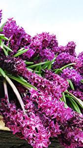 Photo Hyacinths Violet Flowers