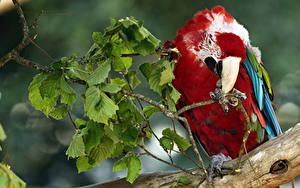 Hintergrundbilder Vögel Papageien Ast Schnabel Tiere