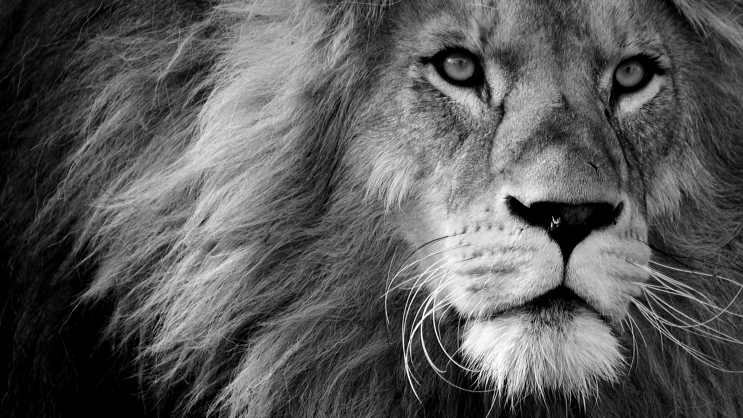 Picture Lions Snout Black And White Glance Animals 2560x1440