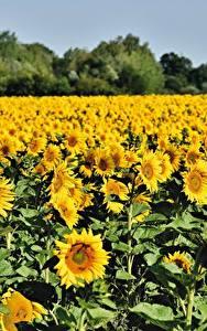 Hintergrundbilder Felder Sonnenblumen Viel Gelb Blumen